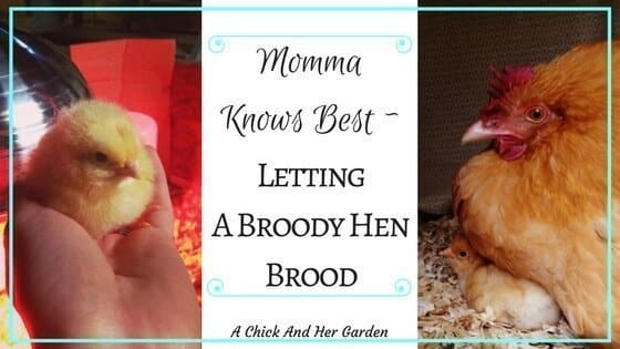 Momma Knows Best ~ Letting a Broody Hen Brood