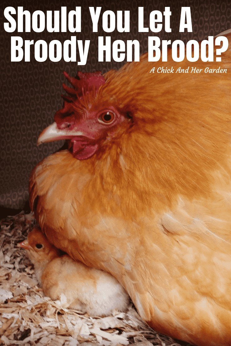 If you typically raise chicks in a a brooder box, check out why you might want to let your broody hens brood! #chickens #bakcyardchickens #raisingchicks #achickandhergarden