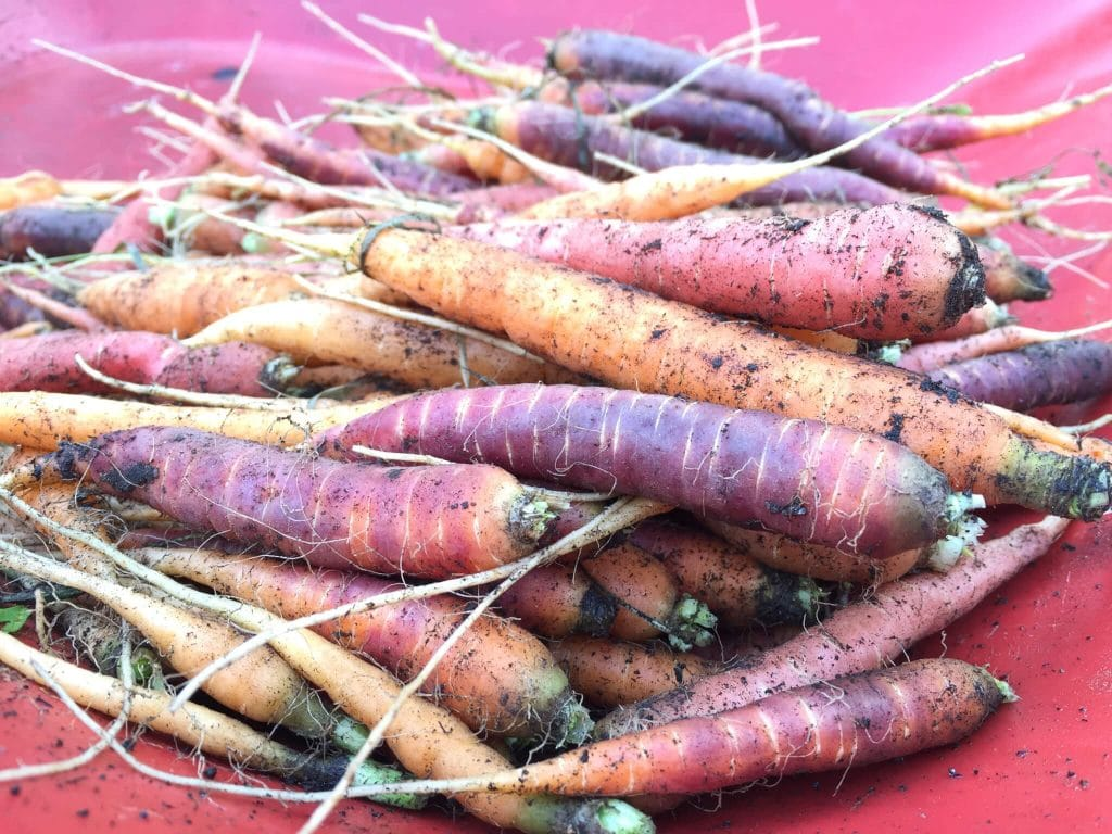 Taste The Rainbow ~ Carrot Harvest and Storage