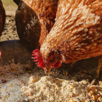 four brown chickens eating feed from a dish