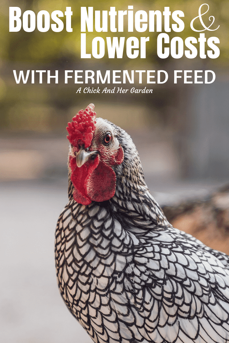 If you wanted to save money and boost the health of your chickens fermented feed is the way to go!  My chickens practically knock me over when they see me coming with their fermented feed!  #chickens #backyardchickens #fermentedfeed #raisingchickens #achickandhergarden