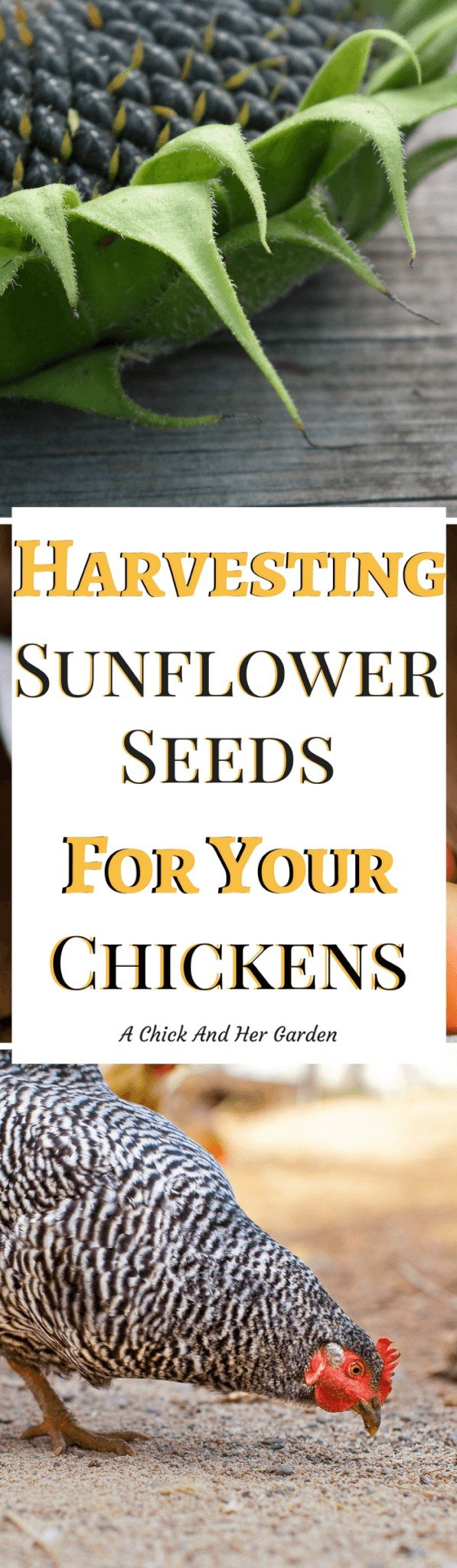 Could you be harvesting sunflower seeds for chickens? Absolutely! And they'll even thank you for it! #freechickenfood #raisingchickens #backyardchickens #achickandhergarden