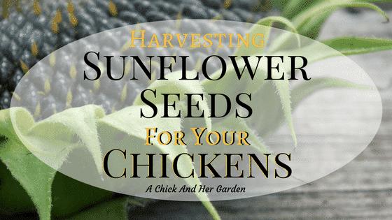 Harvesting Sunflower Seeds For Chickens