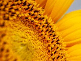 close up of the center of a sunflower