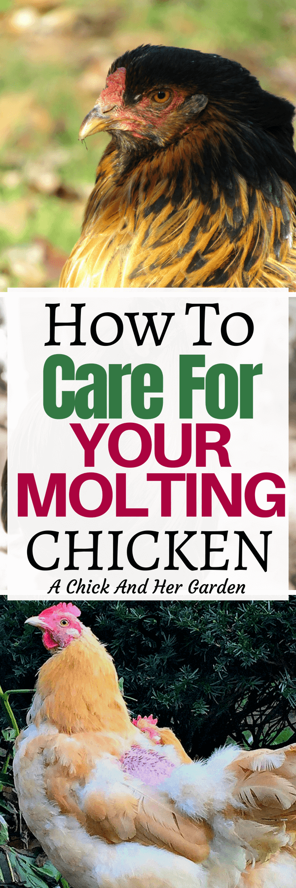 I panicked the first time I saw my chickens going bald! But these steps have helped my poor flck make it through the necessary process of molting each Fall! #moltingchickens #backyardchickens #raisingchickens #achickandhergarden