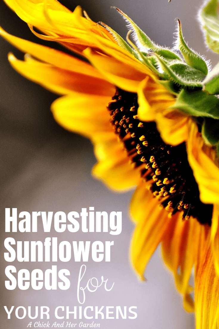 Sunflower seeds are a great addition to your chickens diet! Harvesting your sunflower seeds is so easy and can help reduce your feed costs! #sunflowerseeds #chickenfeed #raisingchickens #achickandhergarden