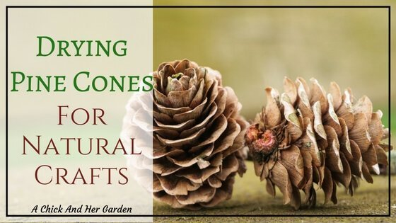 Drying Pine Cones For Natural Crafts