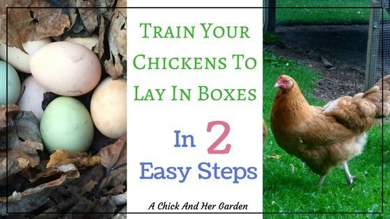 Rogue Chickens ~ How To Get Chickens To Lay In The Nesting Boxes
