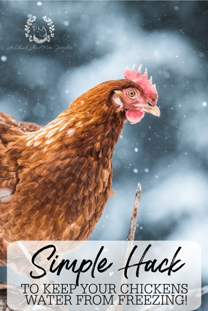 We do anything we can to keep electricity out of our chicken coop so keeping fresh water in the winter was a little bit of a challenge! This tip has cut our winter chicken chores in half, and the less I have to go out in the cold the better! #backyardchickens #raisingchickens #chickensinthewinter #chickenchores #winterhomesteadhacks #achickandhergarden