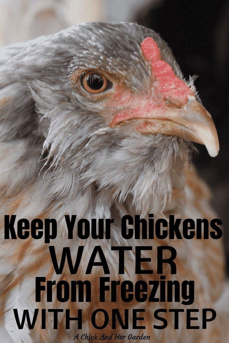 We have cut our work in half in the winter with this tip for keeping our chickens water from freezing! The less I have to trudge through the snow with water buckets, the better! #chickensinwinter #winterchickencare #backyardchickens #achickandhergarden