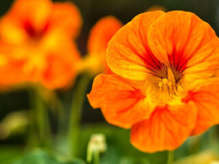 closeup of an orange nasturtium flower with blurred flowers in the background