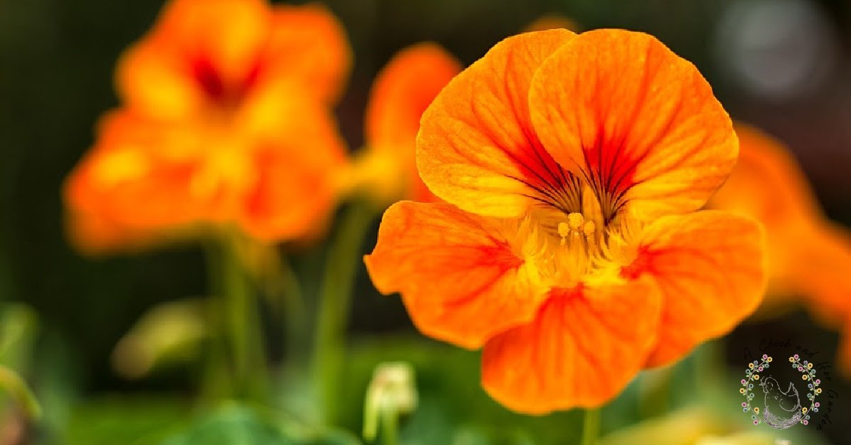 23 Reasons Why You Need Nasturtium In Your Garden