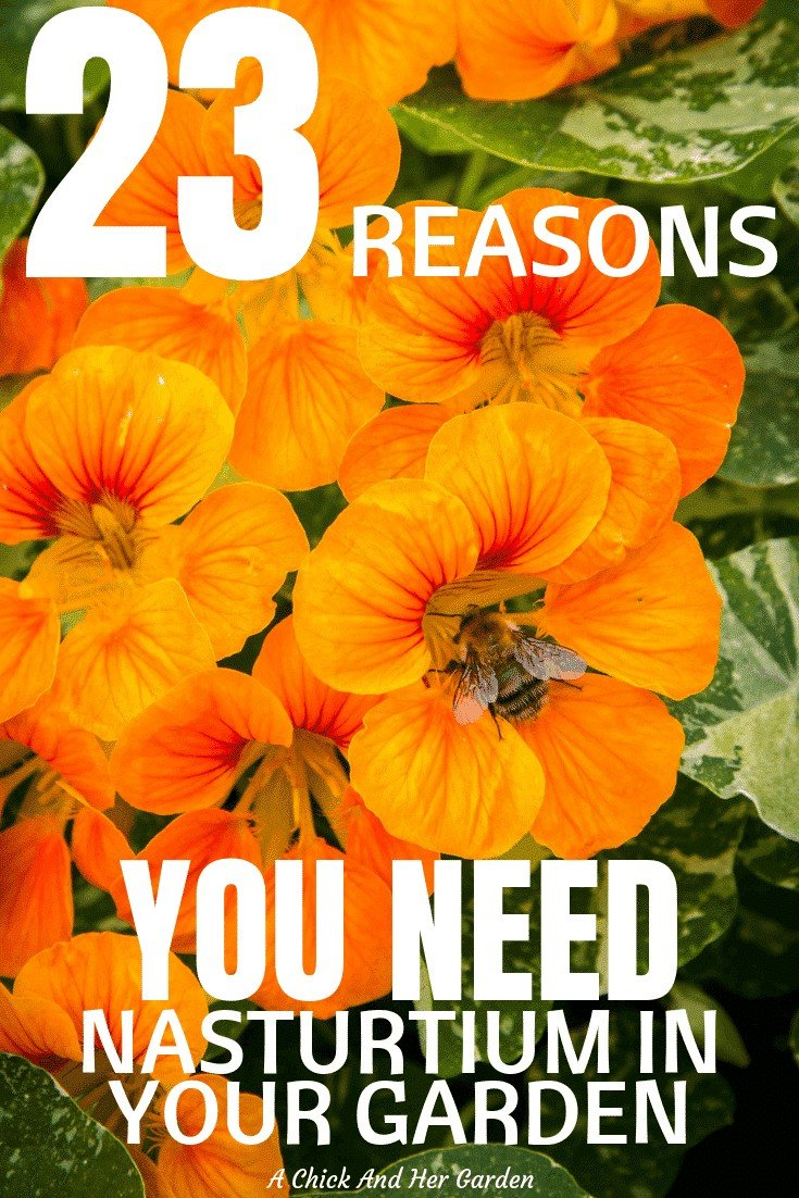 Nasturtium is one of the easiest annuals to grow! And this is a great list of why you need it! #annualflowers #nasturtium #garden #gardening #achickandhergarden