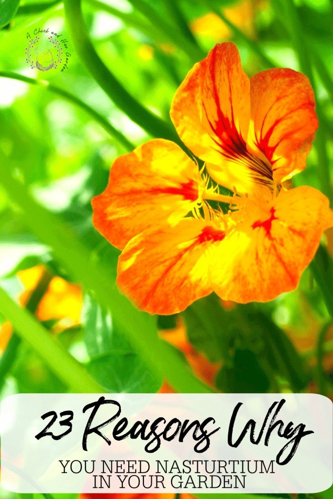 Aside from how pretty it is, I never realized how useful nasturtium is! From now on nasturtium is a must have in my garden! #springgardeningforbeginners #gardening #gardeningforbeginners #herbgarden #herbs #growingherbs #growingflowers #flowergarden #edibleflowers #achickandhergarden