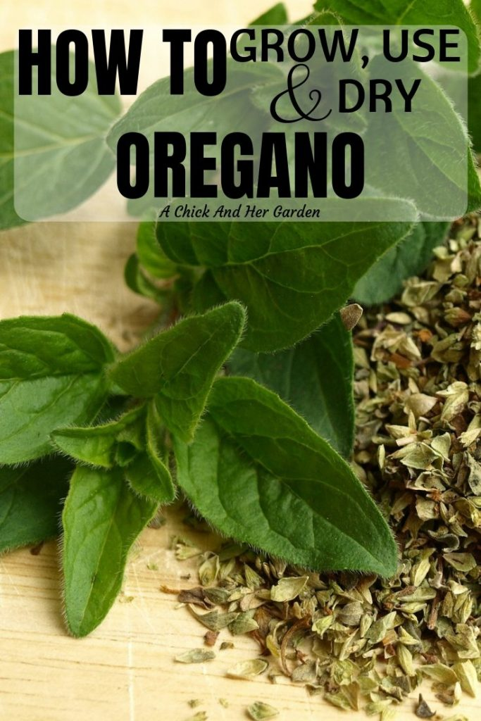 I love my herb garden and Oregano is one of my favorite herbs to grow! We always end up with so much and there are so many uses for homegrown Oregano! #herbgardening #growingherbs #growingoregano #healinggardens #achickandhergarden
