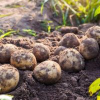 fresh organic potatoes dug up in the field
