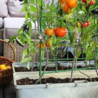 tomatoes growing in containers and a basket of harvested tomatoes