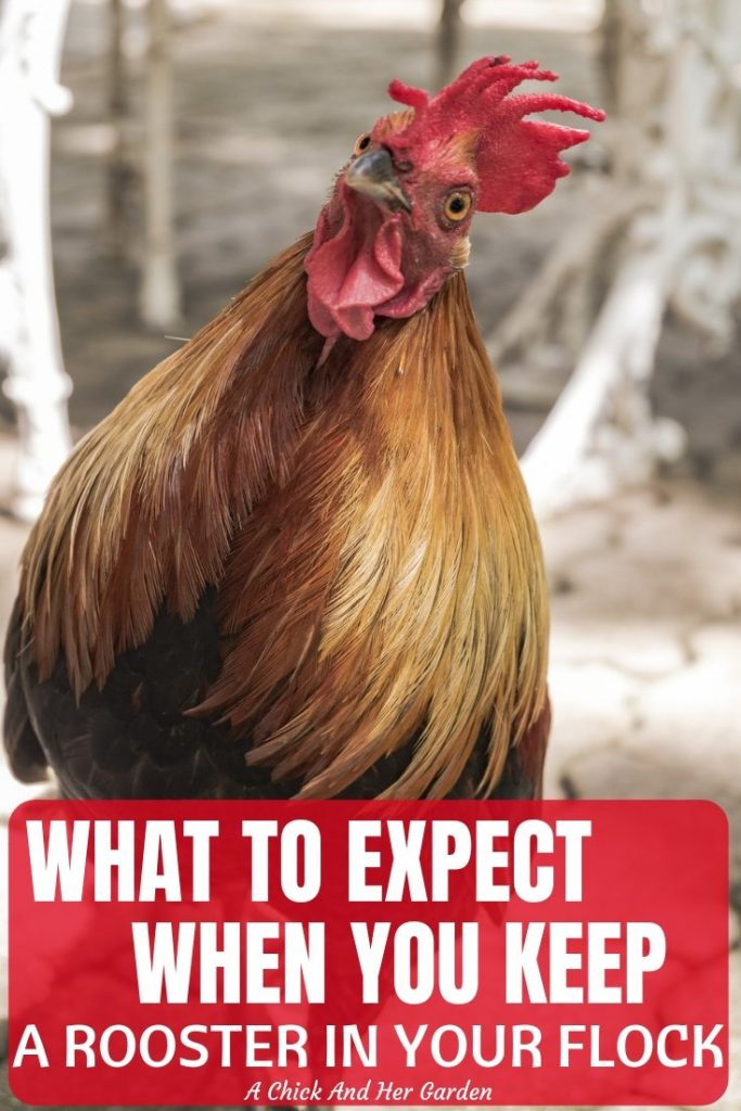 Keep a rooster in your flock of chickens can be like Russian Roulette! You never know exactly what you'll get! But here are some great facts to consider when deciding whether or not to keep a rooster with your flock of chickens! #raisingchickens #backyardchickens #homesteadchickens #chickens #roosters #sustainablechickens #achickandhergarden