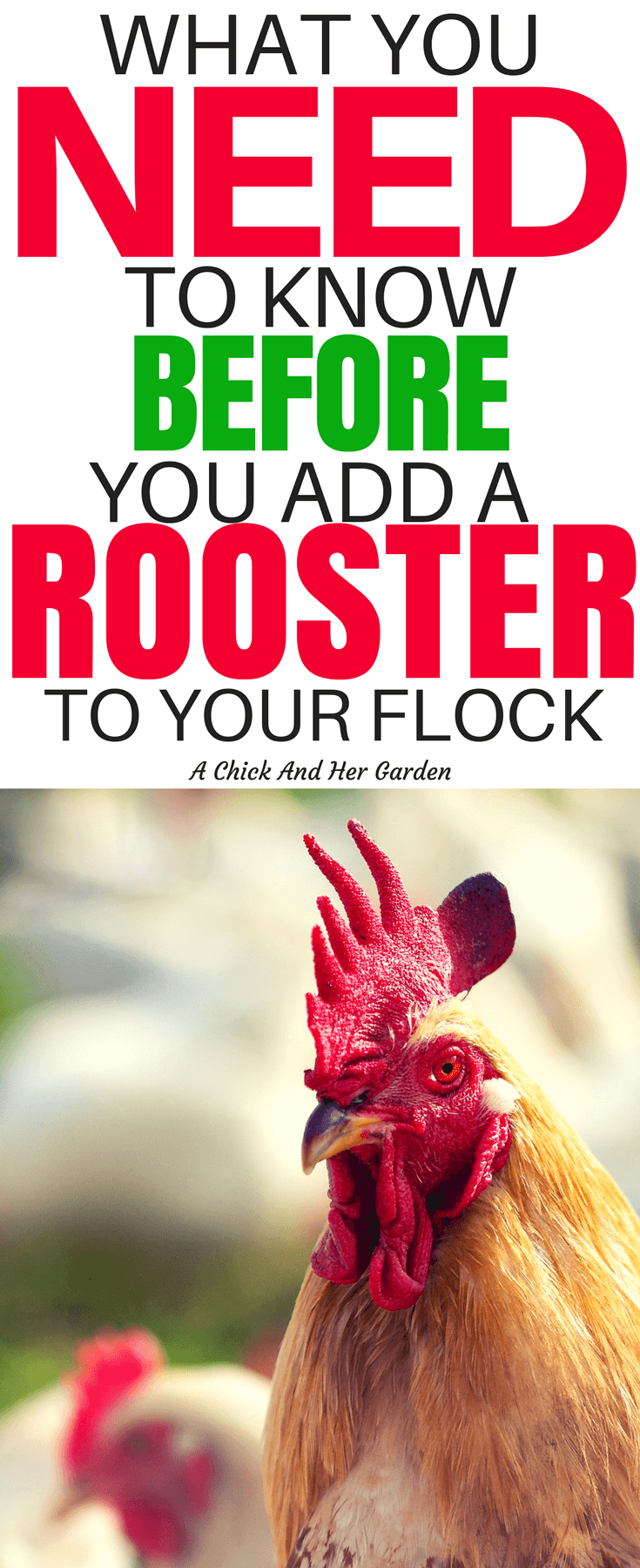 Roosters have a bad rep, and some of them have earned it! Here's what to expect when you add a rooster to your flock. #rooster #chickens #backyardchickens #homesteading #selfsufficiency #achickandhergarden