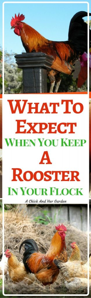 Is a rooster a good idea for your flock? Here are some pros and cons to help you decide!