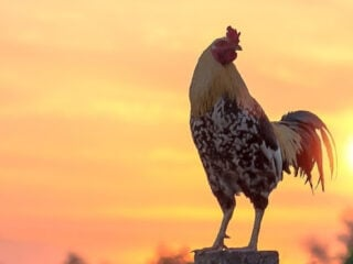 speckled rooster standing on a fence post in front of a sunset