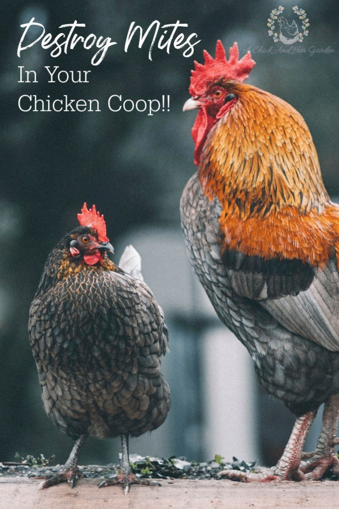 Mites in the chicken coop can seem like a never ending battle! These tips have helped me destroy the mites in our chicken coop! #mites #chickencoops #raisingchickens #backyardchickens #achickandhergarden
