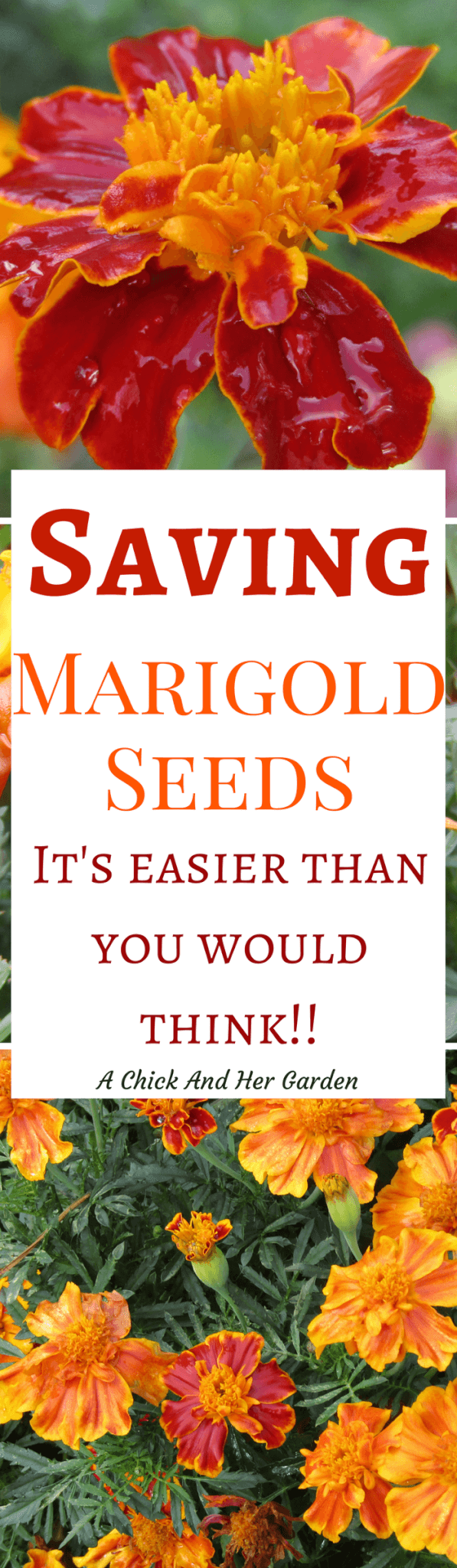 how to get seeds out of marigolds