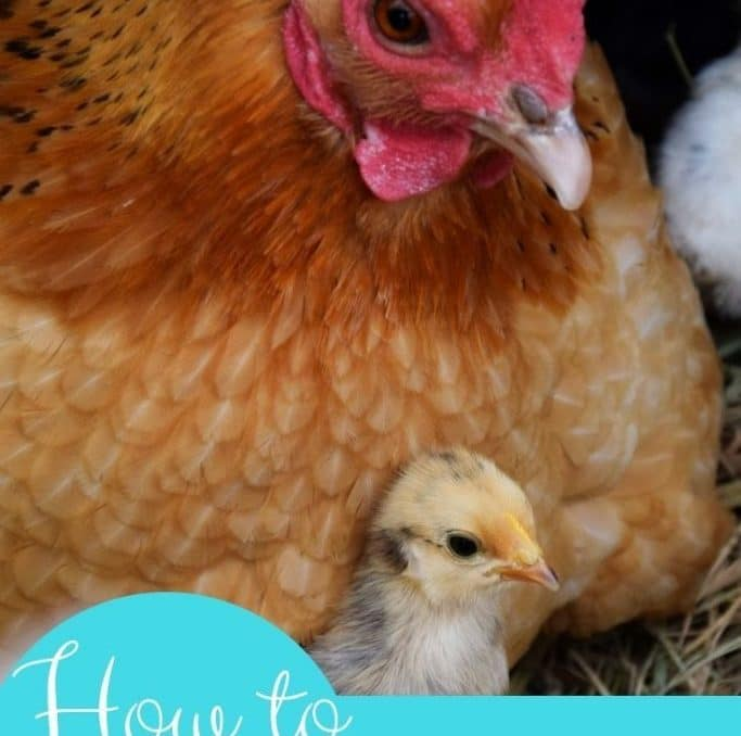 It's hard not to worry about your chickens in the winter! The tips in this post have helped keep my chickens happy and warm this winter! #winterchickens #backyardchickens #chickenswarminwinter #raisingchickens #achickandhergarden