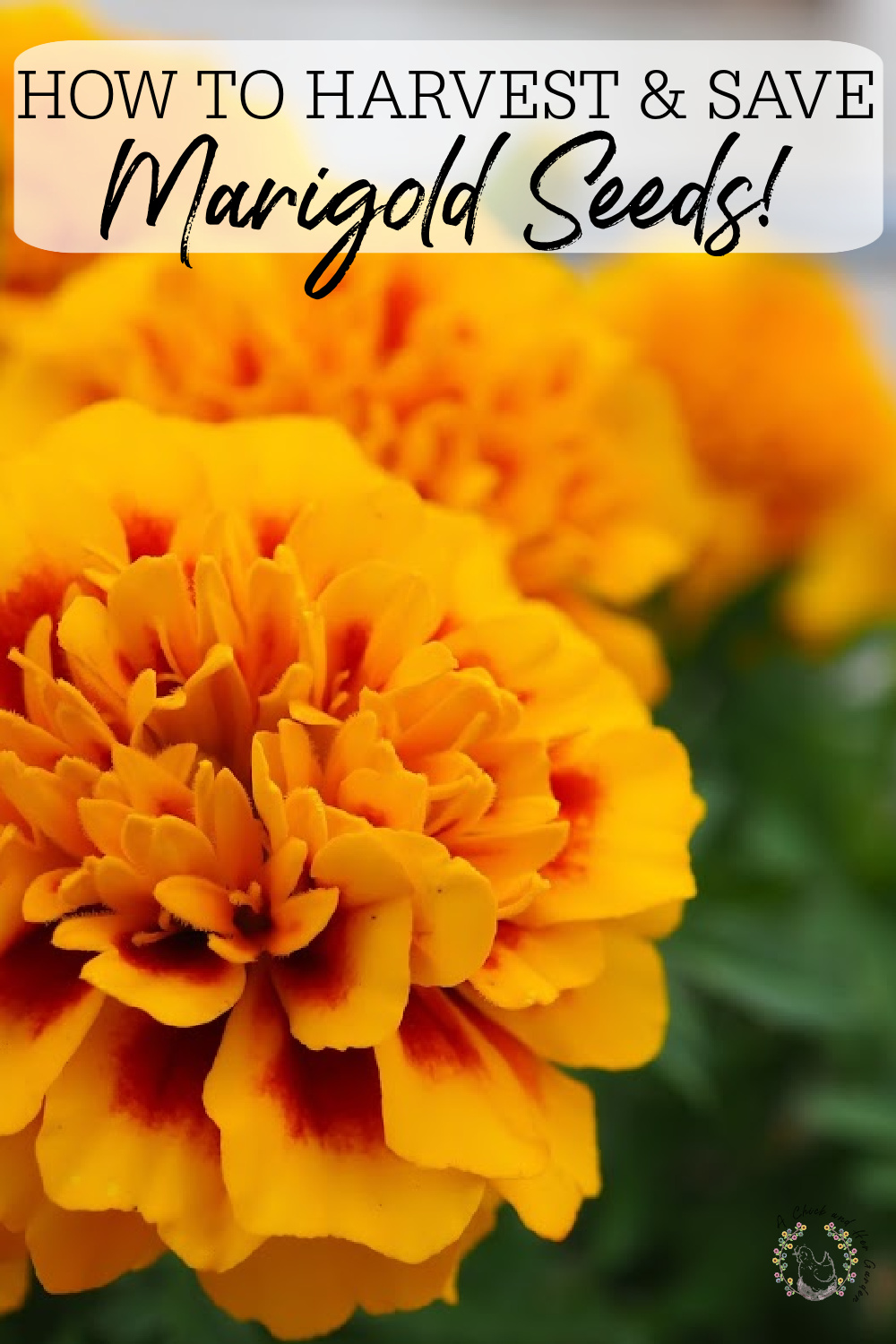 marigold close up in pinterest image