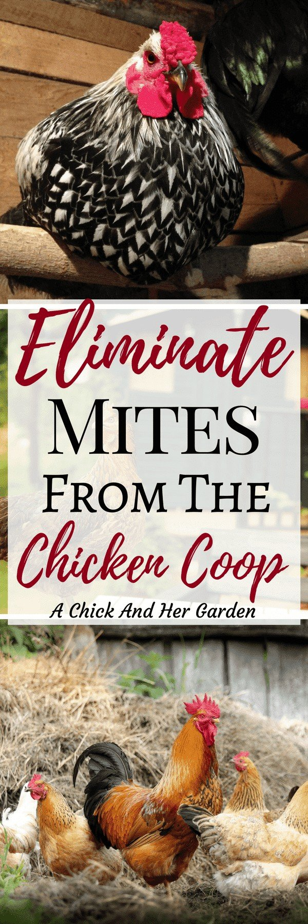 When you find mites in the coop your skin just crawls! It can be such a huge pain, but these steps for how to treat your chicken coop for mites, will get rid of them for good! #chickens #backyardchickens #selfsufficiency #homesteading #raisingchickens