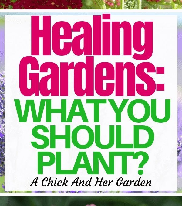Healing gardens are more than just about teas and soaps! They can be really beautiful! Check out this awesome list of what to plant in your healing garden! #gardening #healinggarden #homesteadgardens #naturalliving #achickandhergarden