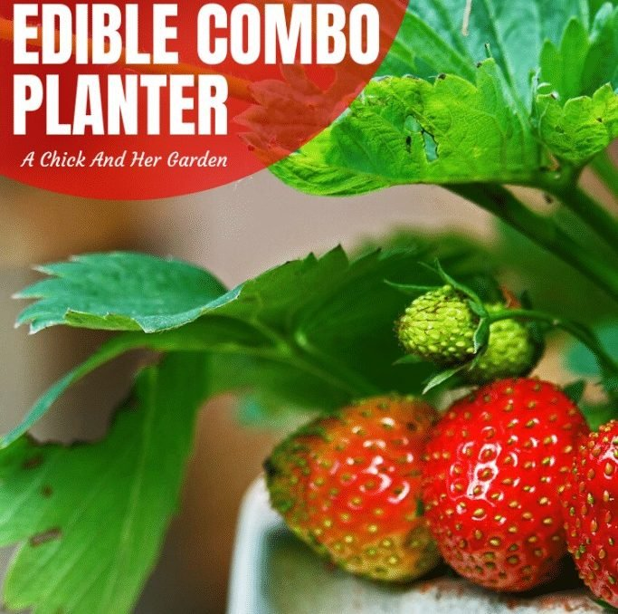 I love that I can decorate my patio with a combination of herbs, flowers and produce! These edible combination planter ideas are perfect! #ediblegarden #smallspacegardening #comboplanters #combinationplanters #patiogardens #containergardens #springgardeningforbeginners #springgardening #gardening #gardeningforbeginnners #achickandhergarden