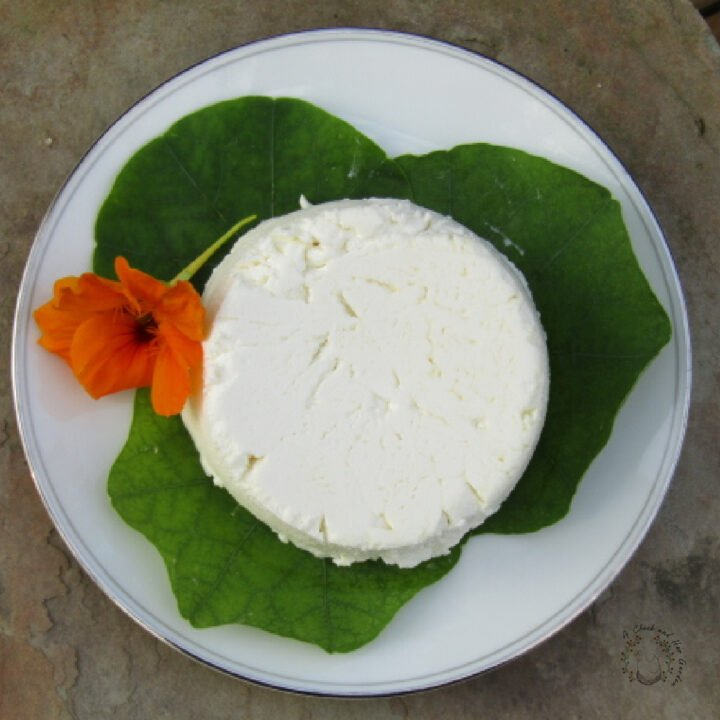 fresh round of goat cheese sitting on nasturtium leaves with an orange nasturtium flower nest to it on a white plate