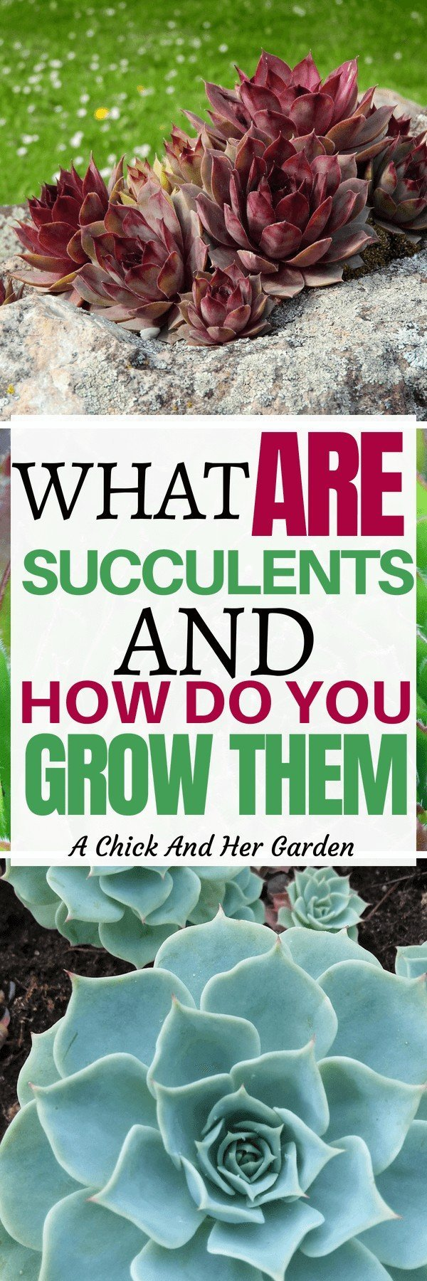 Succulents have gotten so popular! I see them everywhere! Here are some great tips on the different types and how to grow them! #succulentcare #howtogrowsucculents #succulents #greenthumb #houseplants #hensandchicks #achickandhergarden