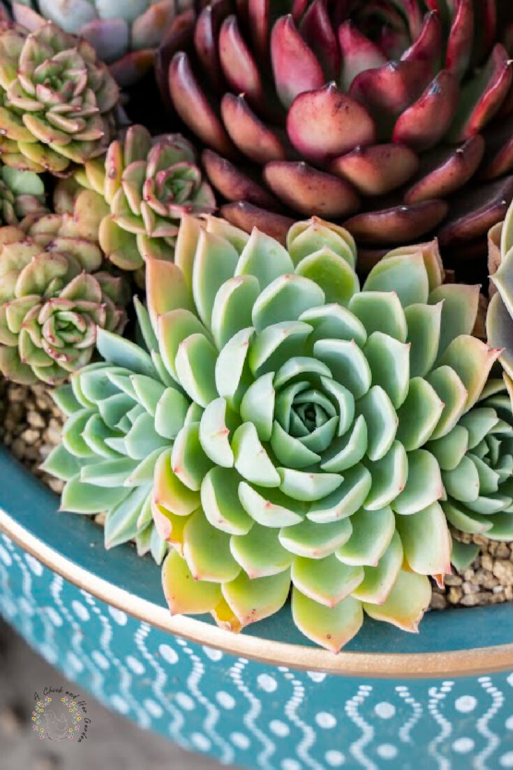 assorted blue green and purple succulents in a blue dish