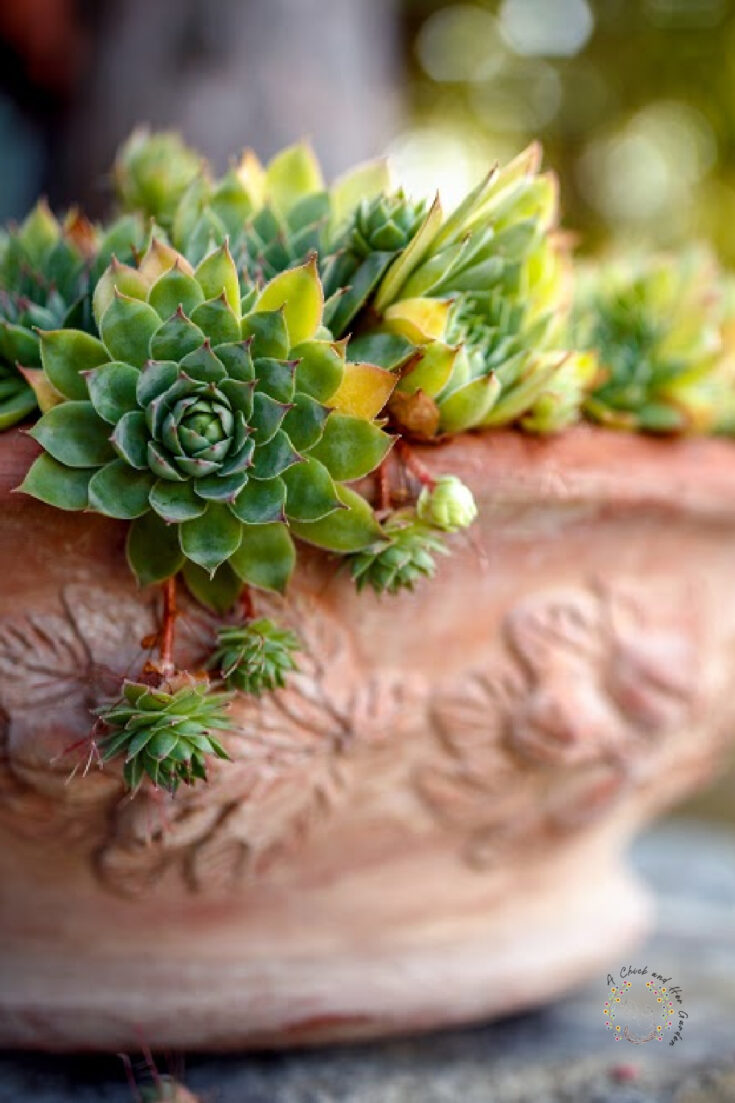 green sempervivum spilling out of a clay pot