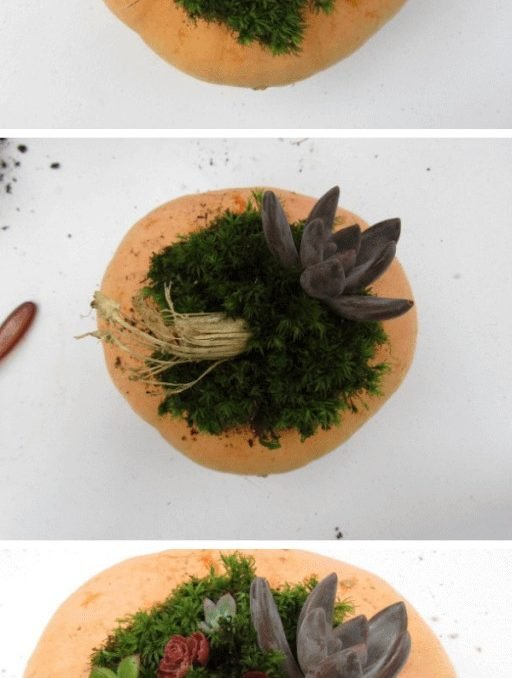 My obsession with succulents is growing! Now they're even in my Fall decorations! Check out how to make your own Succulent Pumpkin Centerpiece! #fallsucculents #falldecor #gardening #succulents #achickandhergarden