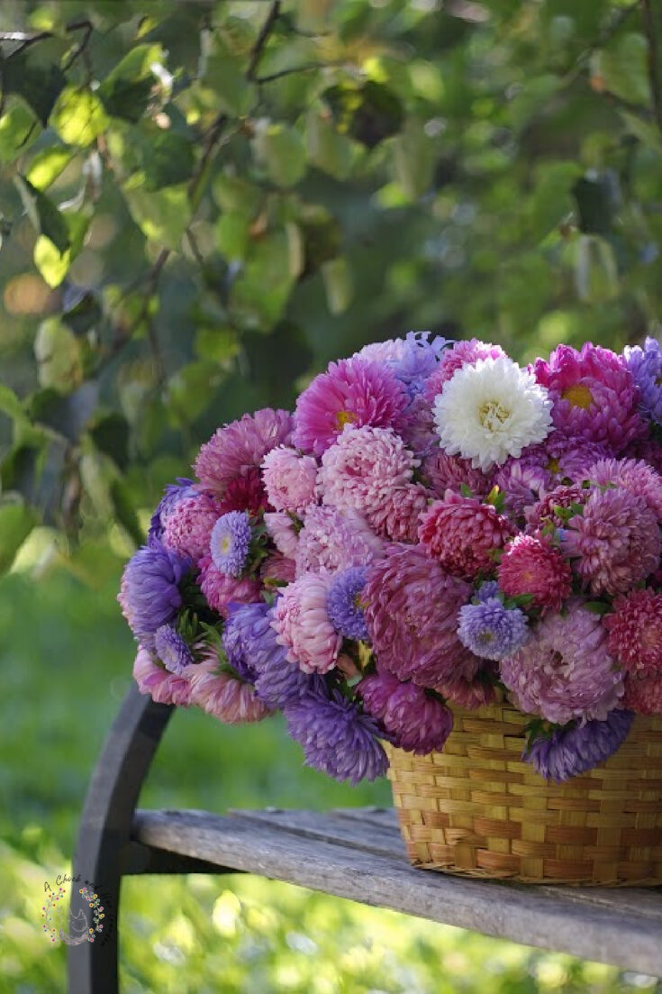 basket of fresh cut pink purple and white aster flowers sitting on a park bench