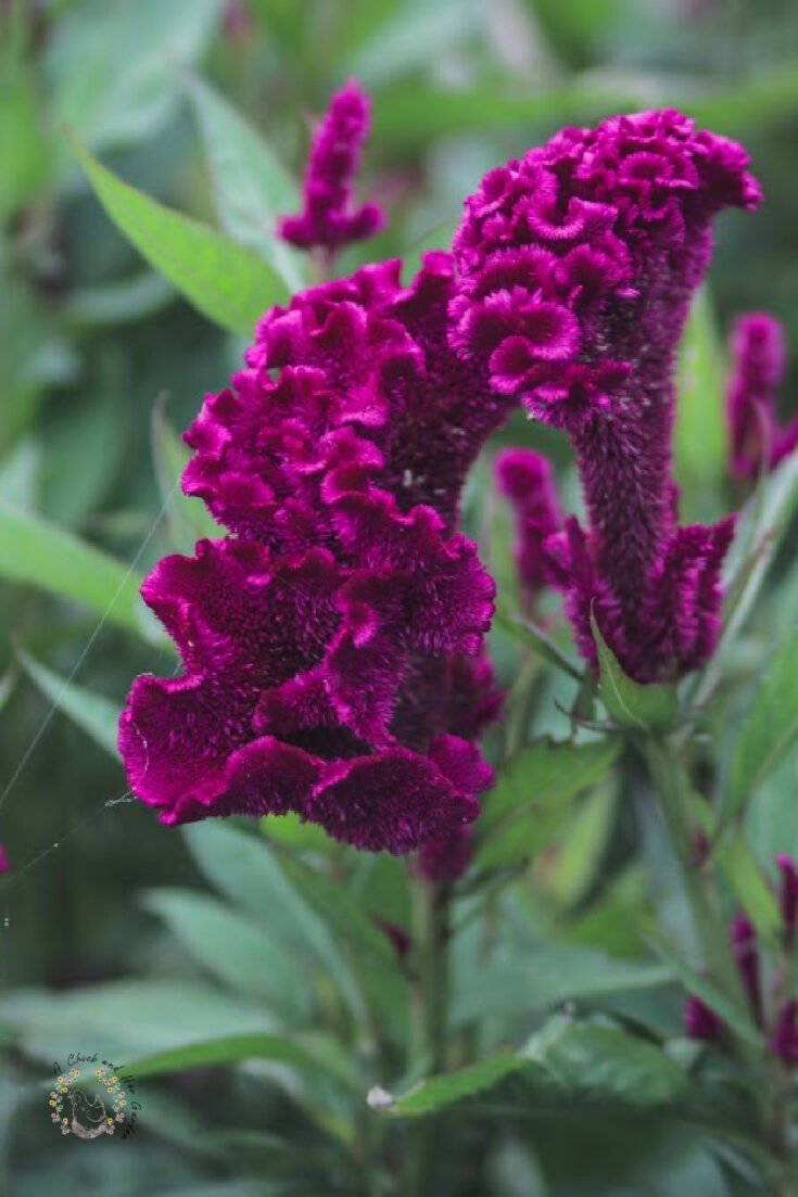 close up of purple cockscomb celosia