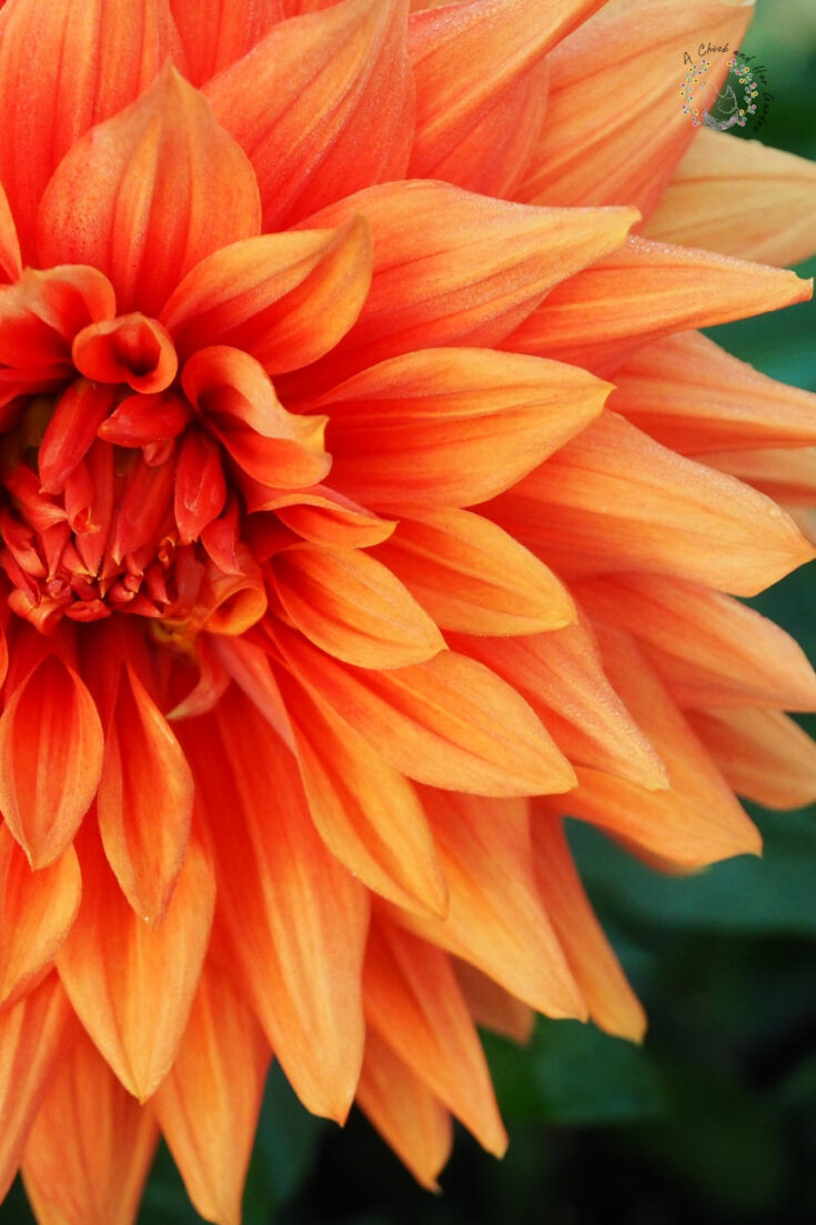 closeup of a bright orange dahlia