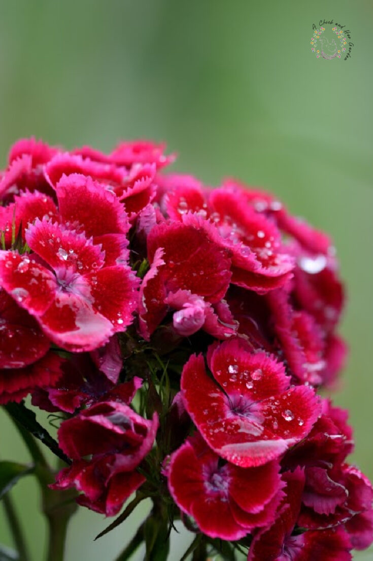 closeup of red and pink dianthus flower