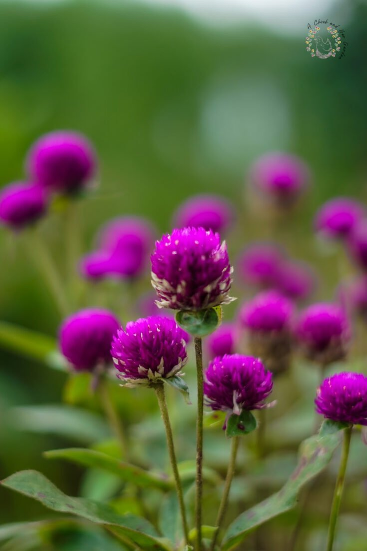 close up of gomphrena flowers in the garden