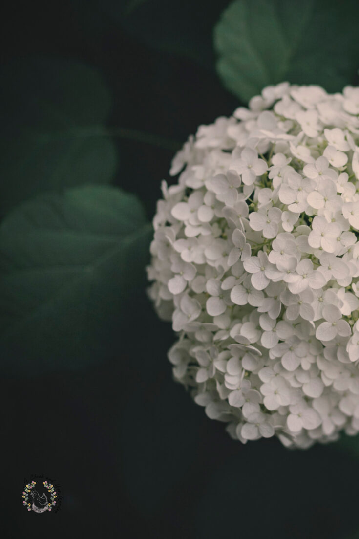 white hydrangea with a background of dark green leaves