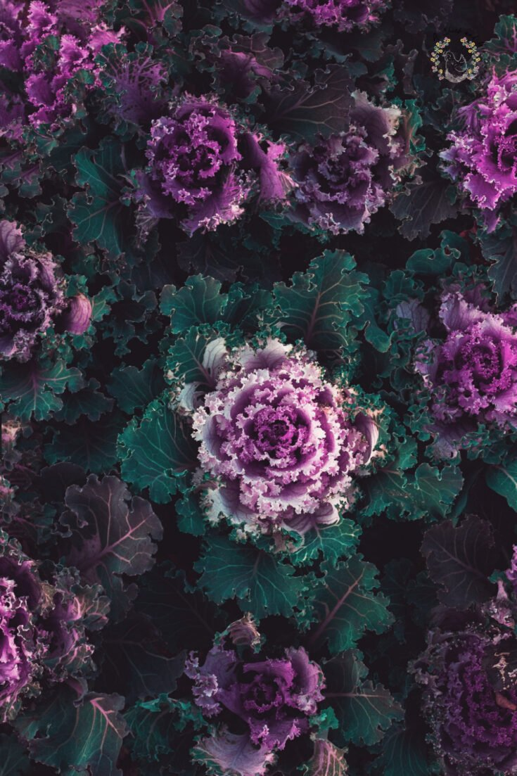multiple heads of purple and green ornamental kale