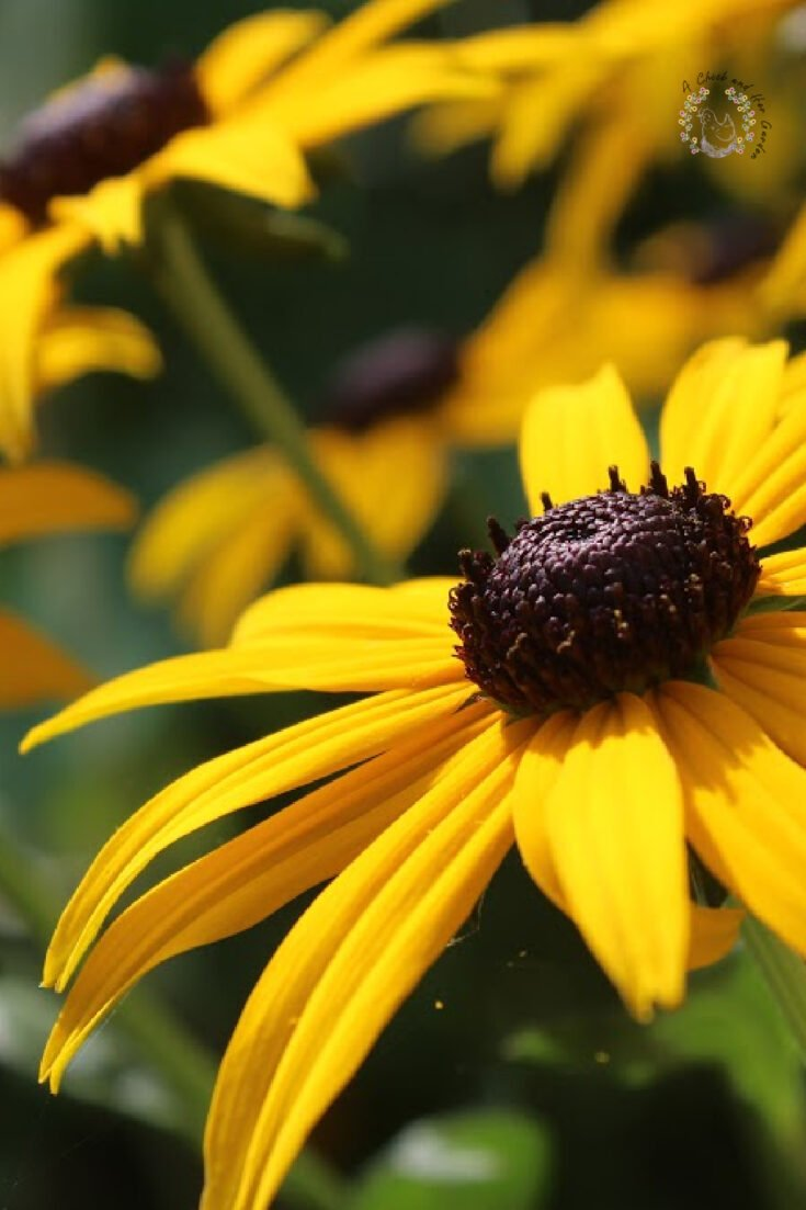 The brightly yellow colored flowers of Rudbeckia fulgida also known as the cone flower, in close up in a natural outdoor setting