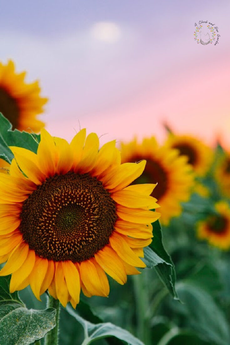Field of young orange sunflowers on a sunset background.