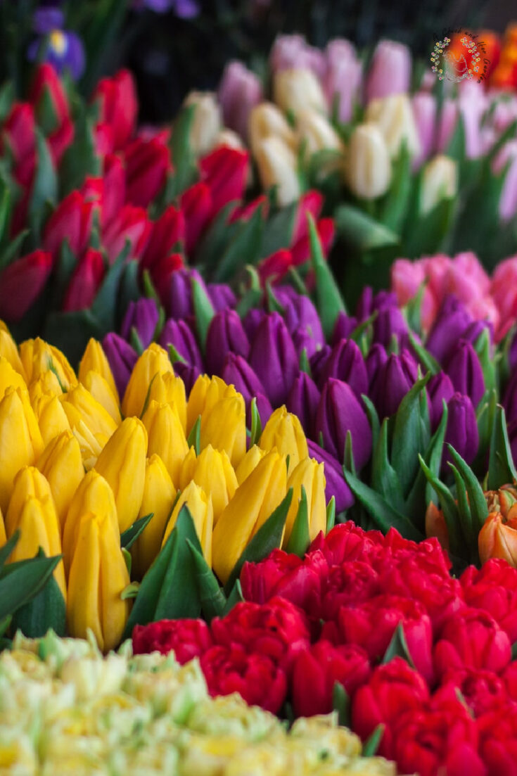 bunches of fresh cut tulips in various colors