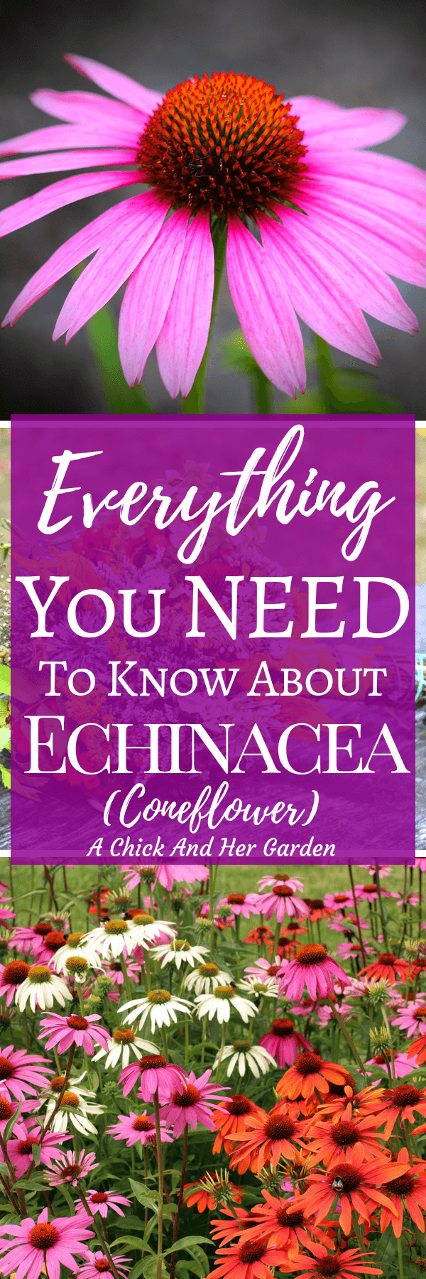I never realized how many types of echinacea there were!  This post was such a big help! I can't wait to get in the garden!  #growingechinacea #herbs #gardening #cuttinggarden #healinggarden #achickandhergarden
