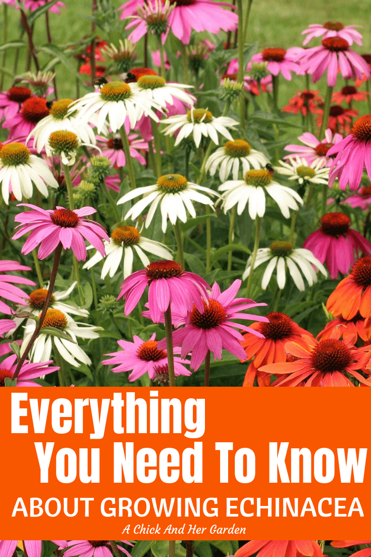 I love finding new colors of echinacea to grow in the garden! If you're looking to start growing echinacea this is a great post to learn from! #echinacea #growingechinacea #coneflower #cuttinggarden #flowergarden #healinggarden #herbgarden #achickandhergarden