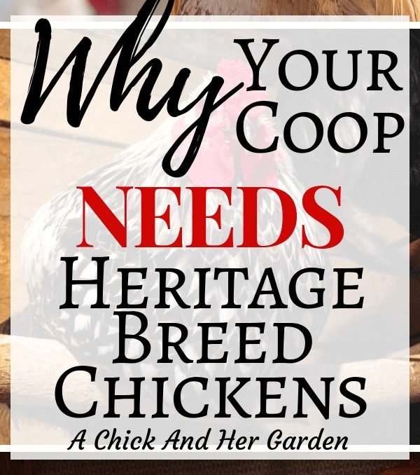 I never realized how import it is to raise heritage breed chickens! I've already got Buff Orpingtons, but will definitely be adding more breeds! #savethechickens #raisingchickens #backyardchickens #sustaingablechickens #homesteading #achickandhergarden